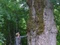 Lėgų miško ąžuolas - gamtos paminklas. 2009