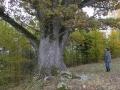 Genių ąžuolas. 2009